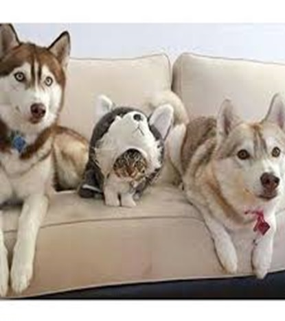 day-12-they-still-think-im-a-husky-cat-in-disguise